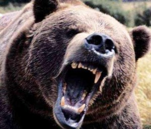 grizzly bear 300x257 Australias Killer Creatures and Death